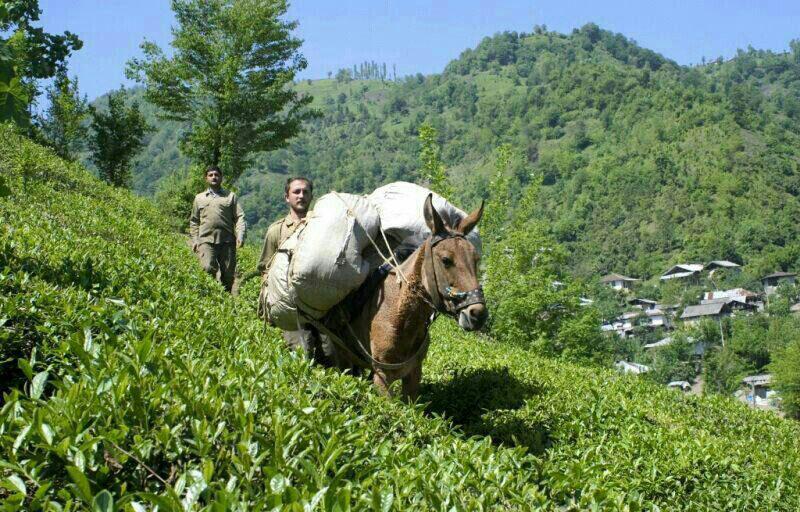 برگزاری اولین تور گردشگری چای در گیلان